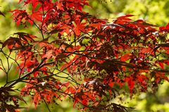 Maple tree with Spring red leaves. Stock Image