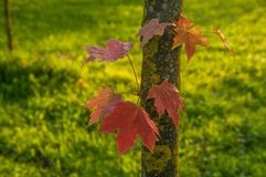 Maple stock with some leaves. Maple tree stock with few small branches and red leaves Stock Photos