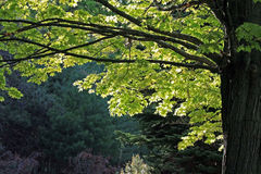 Maple Tree in Summer Royalty Free Stock Photo