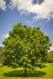 Maple tree in summer field Stock Photography