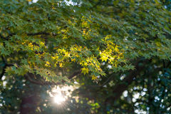 Maple tree with sun ray Royalty Free Stock Photography