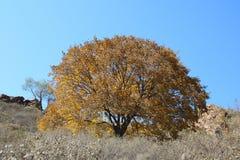 Maple tree. In the sunny sky Stock Photos