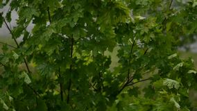 Maple tree swinging in the wind. Maple tree in park swinging in the wind, summer time stock video