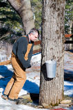 Maple tree tapping Stock Image