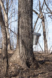 Maple Tree Tapping Royalty Free Stock Photography