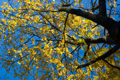 Maple tree top with yellow leaves. Borttom view of maple tree top with yellow leaves Stock Photography