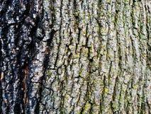 Tree bark. Maple tree trunk bark Stock Images