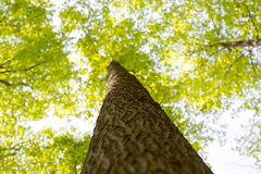 Maple tree trunk and branches POV Royalty Free Stock Photos