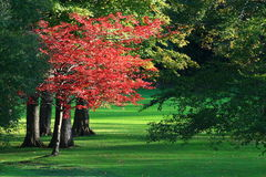 A maple tree turns fire engine red in the failing autumn light at a golf course. stock images