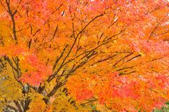 Maple tree in vibrant orange and red colors Stock Photos