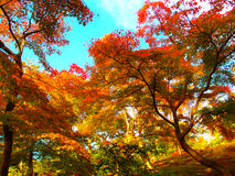 Maple tree. View of maple tree in japan Stock Photo