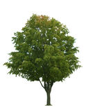 Maple Tree on White