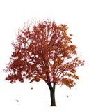 Maple Tree on White Stock Image