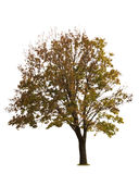 Maple Tree on White Stock Photos