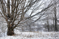 Maple Tree in Winter Royalty Free Stock Image