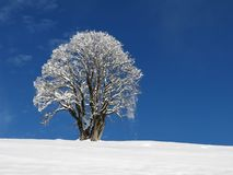 Maple tree in winter Stock Photo