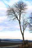 Maple Tree in Winter Royalty Free Stock Photography