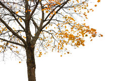 Maple tree with yellow autumn leaves. Isolated on white Royalty Free Stock Photo