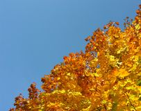 Maple tree with yellow autumn maple leaves. Against clear sky Stock Photos