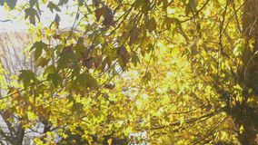 Maple tree with yellow and green leaves in autumn. Maple tree with yellow and green leaves in autumn stock video footage