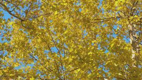 Maple tree with yellow and green leaves in autumn. Maple tree with yellow and green leaves in autumn stock video