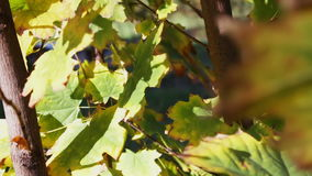 Maple tree with yellow green and orange leaves. Yellowed maple leaves in the autumn wind blowing in the leaves park.Full HD 1920 x 1080, 29,97 fps stock video footage