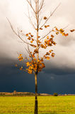 Maple tree in the yellow leaves on the background of stormy clouds Stock Image