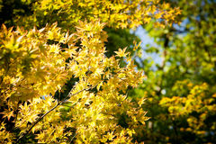 Maple tree. Yellow leaves brighten maple tree in the forest royalty free stock images