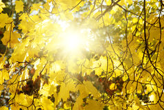 Maple tree with yellow (orange) leaves at sunset. Autumn maple tree with yellow (orange) leaves on sunset background with sun, beautiful nature landscape Royalty Free Stock Image