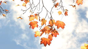Maple tree with yellow and orange leaves in the wind in a sunny park. stock video