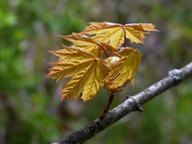 Maple tree young leaves Stock Image