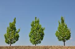 Maple trees Stock Photography