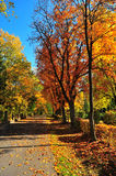 Maple trees. Autumn in park with maple trees Stock Photos