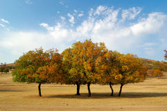 Maple Trees. In the grassland, Eastern Inner Mongolia, China Fall of 2006 royalty free stock image
