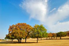 Maple Trees. In the grassland, Eastern Inner Mongolia, China Fall of 2006 stock photography