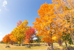 Maple trees. Acer saccharum and fall colors, upstate rural New York Stock Images