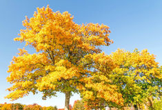 Maple trees. Acer saccharum and fall colors, upstate rural New York Royalty Free Stock Images