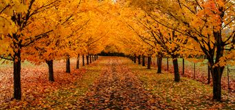 Maple trees along driveway with autumn leaves pano. Maple trees along driveway with autumn leaves on the ground panoramic stock photo