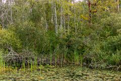 Maple trees and aspins behind pond with reeds and lilypads. In august royalty free stock photo