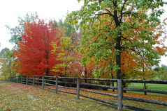 Maple Trees in Automn. In Ontario, Canada royalty free stock photo
