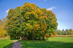 Maple trees in autumn Stock Images