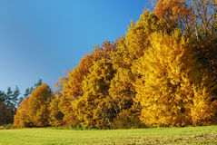 Maple Trees in Autumn Stock Photography