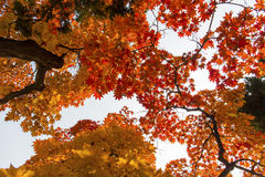 Maple trees. Autumn  beautiful maple trees  on white backgounds Royalty Free Stock Photos