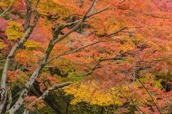 Maple Trees Autumn Color Stock Image