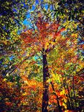 Maple trees in autumn Connecticut. Maple trees leaves become yellow and red against blue sky in autumn New England Connecticut United States stock photography