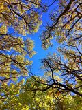 Maple trees in autumn Connecticut. Maple trees leaves become yellow and red against blue sky in autumn New England Connecticut United States royalty free stock image