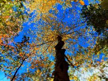 Maple trees in autumn Connecticut. Maple trees leaves become yellow and red against blue sky in autumn New England Connecticut United States stock photo