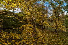 Maple trees in autumn forest Stock Photos
