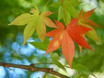 Maple trees in autumn in Japan. Colorful leaves of maple trees in fall in Japanese parks royalty free stock photos