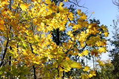 Maple trees in autumn Royalty Free Stock Image